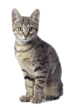 Mignon bébé chat tigré sur fond blanc