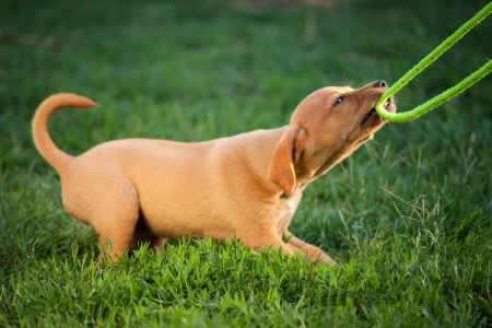 puppy dog ​​plays with the leash in the grass