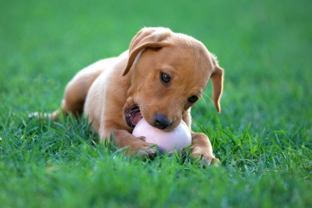 puppy dog ​​biting a ball Stock Photo