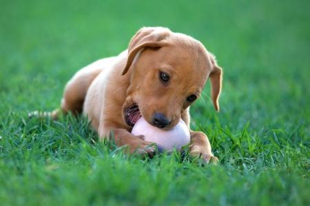 puppy dog biting a ball