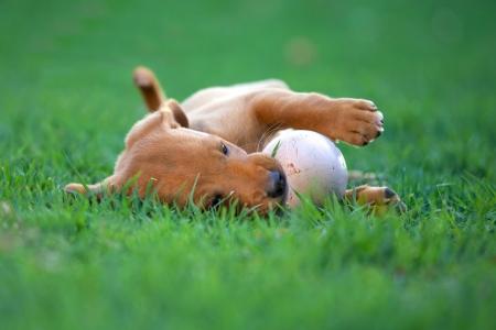 fetch: puppy dog biting a ball