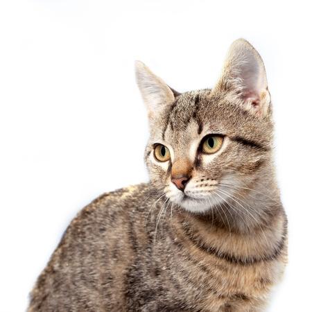 grey tabby: Little gray kitten portrait up isolated on white background.