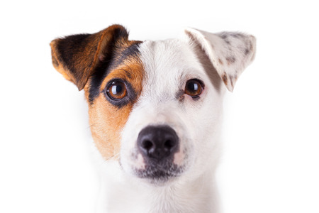 jack russell portrait of a white background photo