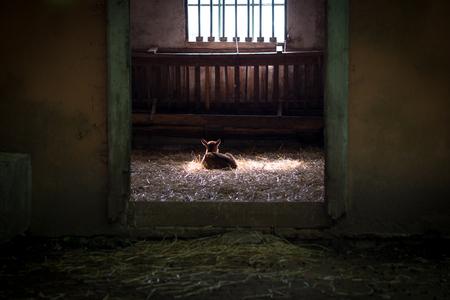 Lamb illuminated by sunbeam Stock Photo