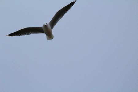 Möwe fliegen über Kakanui Beach Reserve, Awamoa - Oamaru, Neuseeland New Standard-Bild