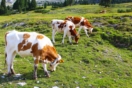 Cows grazing in the green meadows of the Dolomites, Italy Stock Photo - 120134289