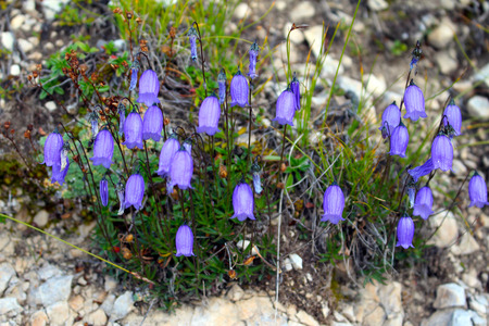 A group of purple flowers (Campanula), Prato Piazza (Platzwiese), Dolomites, Italy