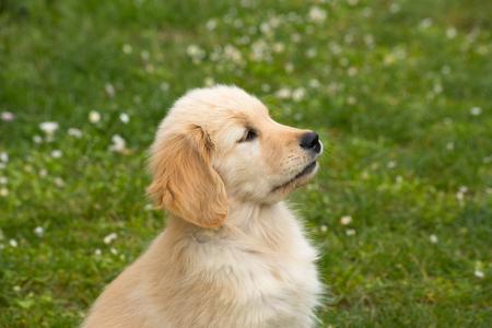 Hündchen der Rasse Golden Retriever. Ein zwei Monate alter Golden Retriever Hund