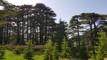 The Cedars of God located at Bsharri, are one of the last vestiges of the extensive forests of the Lebanon cedar that once thrived across Mount Lebanon. Lebanon - June, 2019