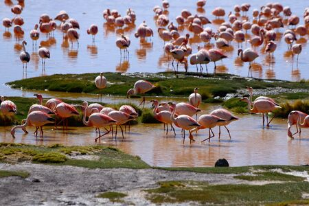 Flamingos in the Laguna Colorada. Landscape of Siloli Desert. Snow-capped volcanoes and desert landscapes in the highlands of Bolivia. Andean landscapes of the Bolivia Plateau Foto de archivo