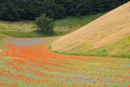 Poppies in bloom in the plain of Castelluccio di Norcia. Apennines, Umbria, Italy Stock fotó