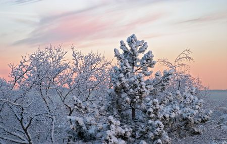 Cold winter morning, dawn: white frozen trees full of snow and pink clouds, Göteborg, Sweden