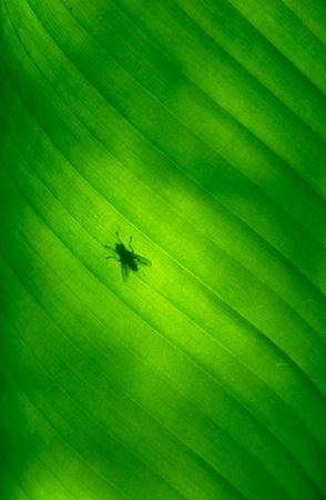 Close-up of a banana palm tree leaf with a fly on it photo