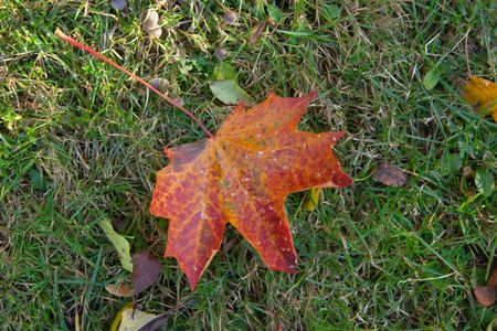 Red autumn leaf on green grass   photo