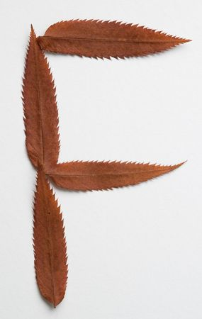 F letter: alphabet and numbers with autumn brown red dry leaf on white background photo