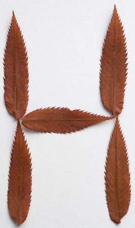H letter: alphabet and numbers with autumn brown red dry leaf on white background photo