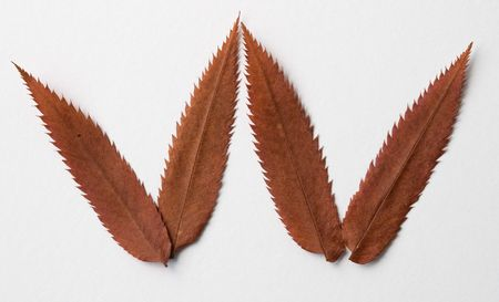 W letter: alphabet and numbers with autumn brown red dry leaf on white background photo