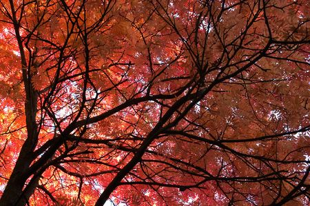 Japanese Mountainash (Sorbus commixta, rosaceae) in the autumn with red leaves, botanical garden, Gothenburg, Sweden   Stock Photo