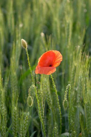 corn ear: Flor rojo amapola (Papaver rhoeas) y la oreja de ma�z, Valtrebbia, Italia
