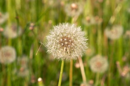 piacenza: Dandelion seed (Priests Crown, Lions tooth, Taraxacum officinalis), Piacenza, Italy