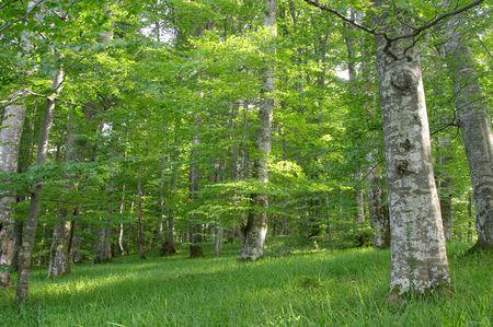 lussureggiante: Verde faggio (Fagus sylvatica) legno, lago di Plitvice (Plitvicka Jezera) naturali parco nazionale, Croazia