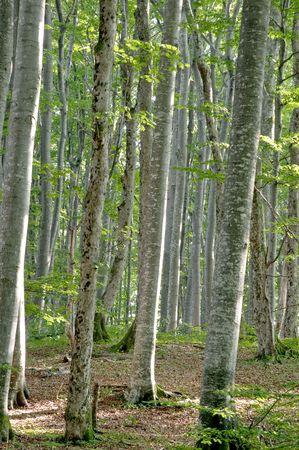 Green beech (Fagus sylvatica) wood, Plitvice lake (Plitvicka jezera) natural national park, Croatia