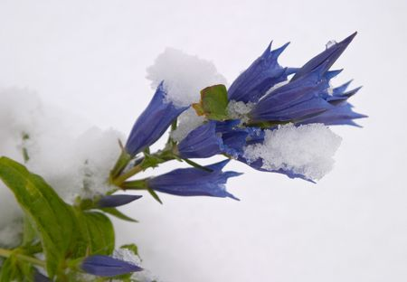 Early autumn snow on a wild blue gentian flower, in Dolomite Mountains, Alps, Italy photo