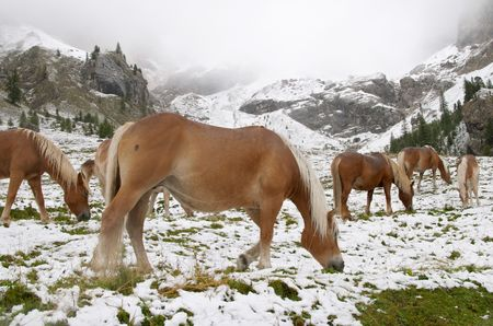 Early autumn snow and wild horses in Dolomite Mountains, Alps, Italy