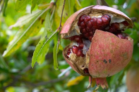 Pomegranate fruit, Punica granatum, in autumn photo