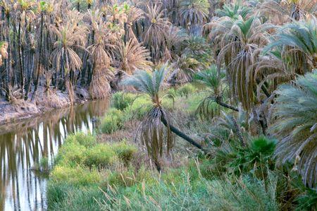 nucifera: Bosque de palmeras (Cocos nucifera) Foto de archivo