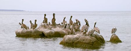Pelican (Pelecanus onocrotalus) and marine birds, coast of Mar de Cortes, Baja California, Mexico Stock Photo - 456671