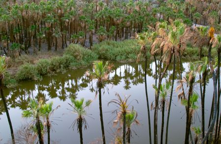 cocos: Palm trees (Cocos nucifera)