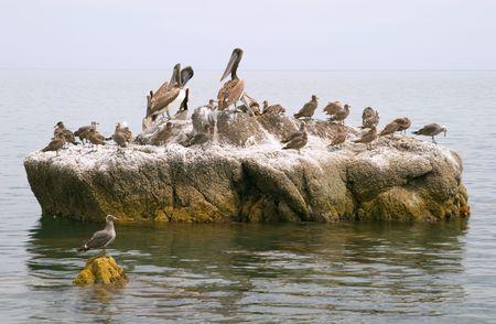 Pelican (Pelecanus onocrotalus) and marine birds, coast of Mar de Cortes, Baja California, Mexico Stock Photo - 456570