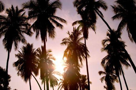 nucifera: Silueta de las palmeras de coco (Cocos nucifera) Foto de archivo