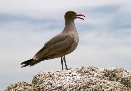 marine bird: De aves marinas, costa de Mar de Cort�s, Baja California, Mexico