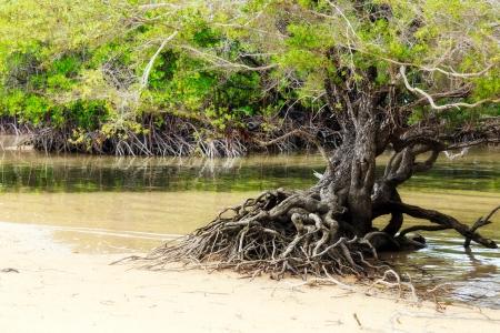 mangroves: Tropical Mangroves