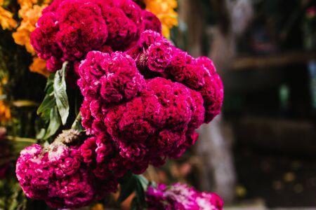 Flor de Terciopelo o Celosia, flores mexicanas para ofrendas ofrendas en dia de muertos Tradición mexicana del Día de Muertos Foto de archivo