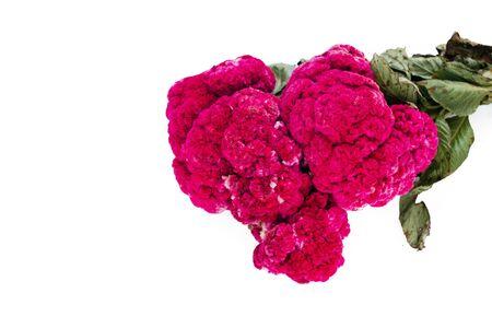Flor de Terciopelo o Celosia, flores mexicanas para ofrendas ofrendas en dia de muertos Tradición mexicana del Día de Muertos