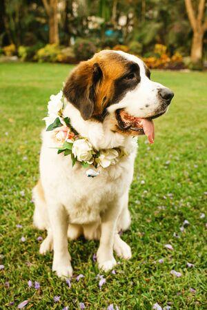 saint bernard dog ready for wedding ceremony Stock Photo