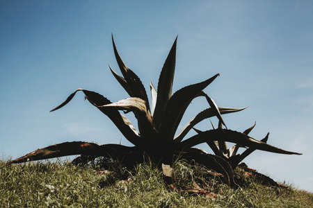 mexican cactus or tequila agave plant in Mexico