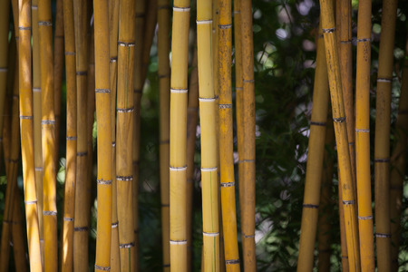 trees photography: Detail of Bamboo Canes. Yellow and Green Colors