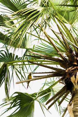 Perroquet at the Carnauba Palm tree