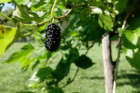 blackberry: Blackberry in a sunny day