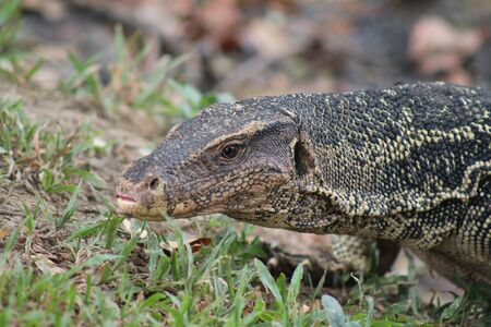 closeup of a beautiful big lizard varano on the grass in Lumpini park of Bangkok