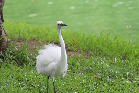 a beautiful wild white egret walking on the grass in a park 版權商用圖片