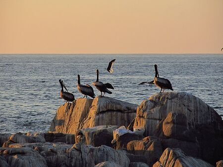 Pelicans flying and standing on the rocks in Maitencillo beach, central coast of Chile. Banco de Imagens