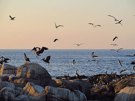 Pelicans flying and standing on the rocks in Maitencillo beach, central coast of Chile. Banco de Imagens - 138008195