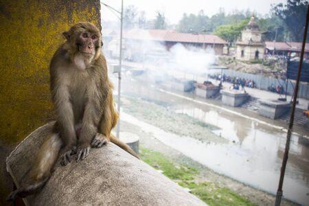 Monkey at the temple Pahupatinath, Kathmandu, Nepal
