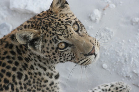 big5: Leopard looking at the lens
