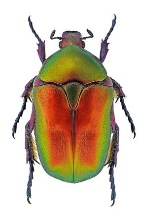 Protaetia cuprea flower beetle isolated on white